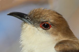 Black-billed Cuckoo ,head image