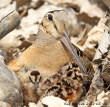 American Woodcock in the open with three of the four chicks showing