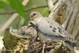 I love my mama,,Morning Dove with chick.