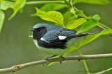 Black- throated Blue Warbler