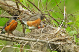 American Robin and chicks
