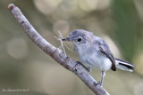 Blue-gray Gnatcatcher with nesting material.