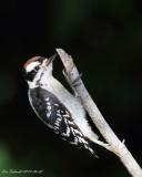 Downy Woodpecker, juvenile