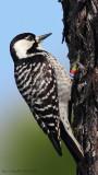 Red-cockaded-Woodpecker-male