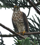 crested_goshawk_bb