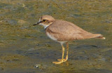 long-billed_plover