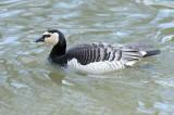 Bernarche nonnette - Barnacle Goose - Branta leucopsis
