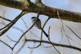Mésange à longue queue - Long-tailed Tit - Aegithalos caudatus