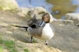 Canard Pilet - Northern Pintail - Anas acuta