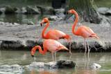 Flamant Rose - Greater Flamingo - Phoenicopterus roseus