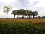 Trees behind corn field