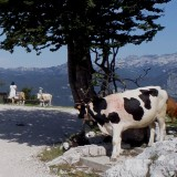 Spying cow