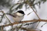 Willow Tit  / Parus montanus / Talltita