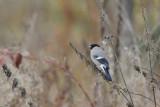Eurasian Bullfinch / Pyrrhula pyrrhula / Domherre