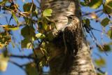 Eurasian Treecreeper / Certhia familiaris / Trädkrypare
