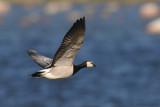 Barnacle Goose / Branta leucopsis / Vitkindad gås