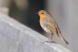 European Robin / Erithacus rubecula / Rödhake