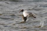 Black-headed gull / Chroicocephalus ridibundus / Skrattmås