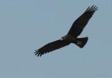Western Marsh-Harrier  / Circus aeruginosus / Brun kärrhök