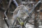 Squacco Heron / Ardeola ralloides / Rallhäger