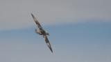 Northern fulmar / Fulmarus glacialis / Stormfågel