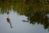 The Heron and the baby Aligator