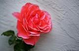 Corral Pink Rose