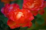 Orange Rose Variety with Pink Rose