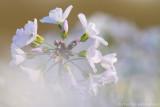 Cuckoo flower (Gardamine pratensis)