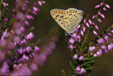 Sooty copper(Lycaena tityrus)