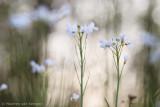 Cuckoo flower (Cardanine pratensis)