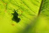 Shield bug spec
