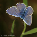 Common blue (Polymmatus icarus)