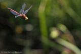 Norfolk hawker (Aeshna isoceles)