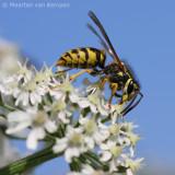 Common wasp <BR>(Vespula vulgaris)