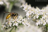 Common wasp (Vespula vulgaris)