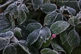 Raspberry (Rubus spec)