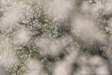 Blackthorn (Prunus spinosa)