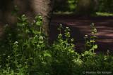 Carlic mustard (Allaria petiolata)