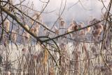 Common kingfisher (Alcedo attis)