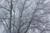 Frozen beech