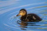 Les canards, grèbes et les autres