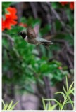 Hummingbird, Cave Creek Ranch 1