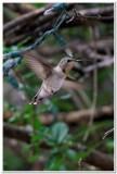 Hummingbird, Cave Creek Ranch 3