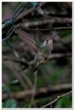 Hummingbird, Cave Creek Ranch 5