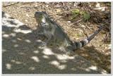 Iguana at Karpata