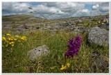 Narrow-leaved Marsh-orchid, The Burren, Ireland