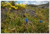 Spring Gentian, The Burren, Ireland