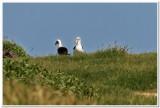 Albatross, Kaena Point