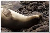 Monk seal, Kaena Point